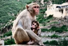 Mamma scimmia che allatta