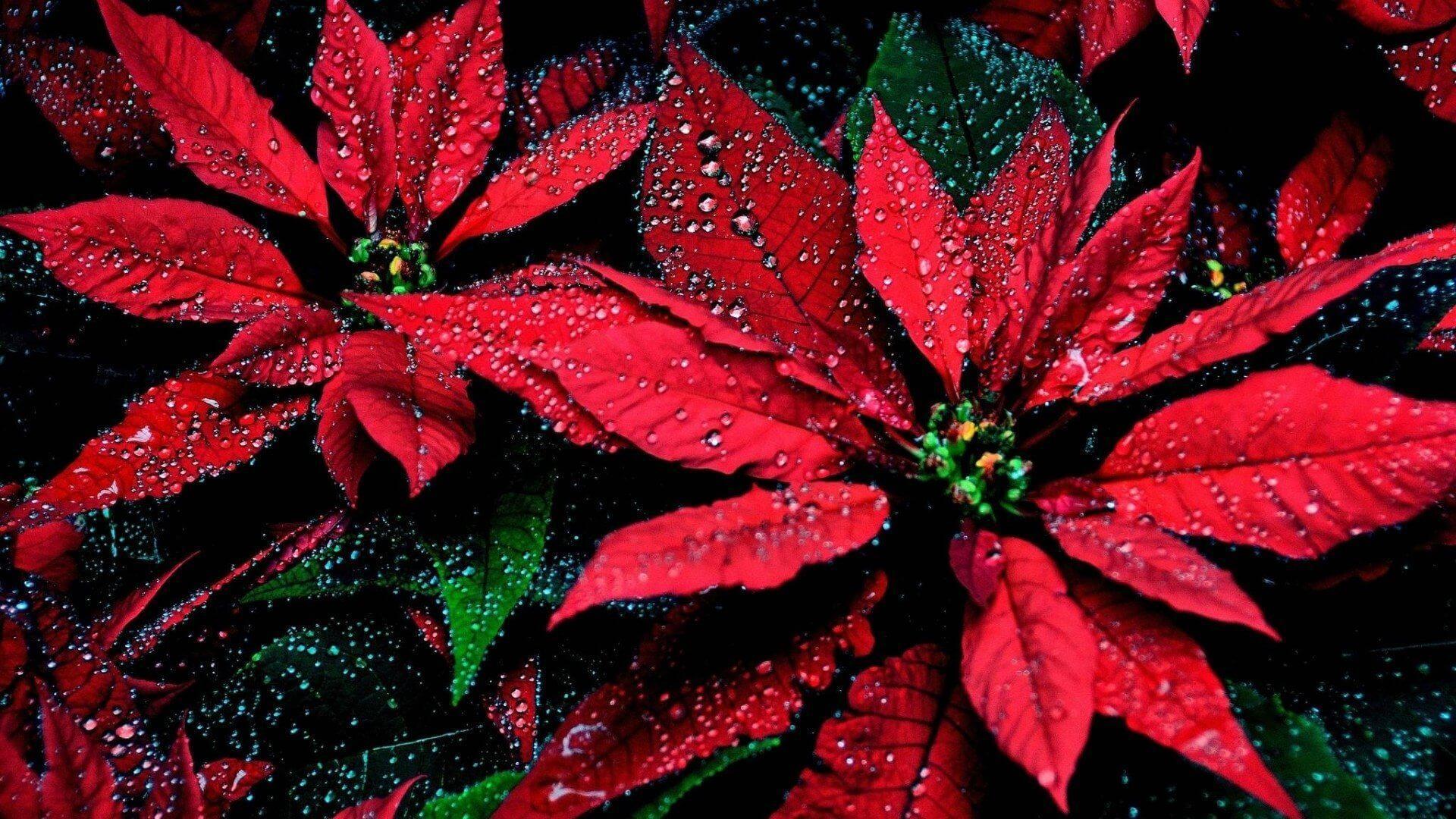 Stelle Di Natale Da Costruire cinque regole per la cura delle stelle di natale | chizzocute