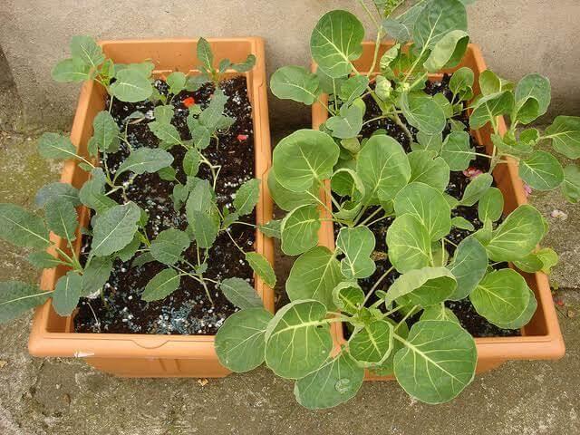 Come cosa e quando coltivare in vaso l 39 orto sul balcone for Coltivazione basilico in vaso