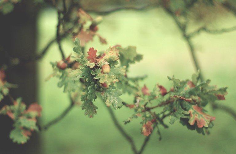 Oroscopo celtico -la quercia