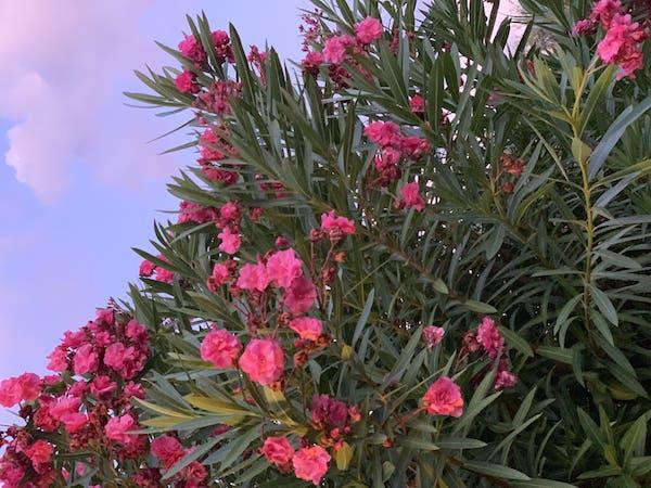 Oleandri siciliani